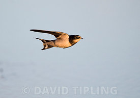 Barn Swallow Hirundo rustica swooping over pool Cley Norfolk UK August