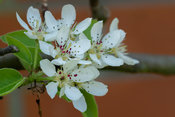 Branch with pear blossom