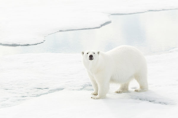 Polar Bear On A Mission VII