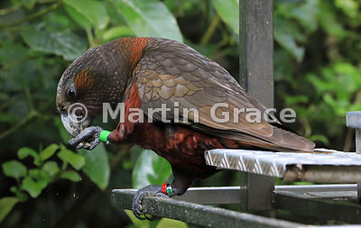 Colour-ringed (-banded) North Island Kaka (Nestor meridionalis ssp septentrionalis) eats provided food, Zealandia, Wellington...