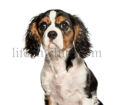 Young Cavalier King Charles dog looking at camera against white background