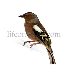 Chaffinch - Fringilla coelebs on its perch