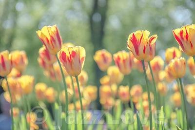 Yellow tulips with red strips blossoming in UK park.