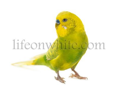 Budgerigar, Melopsittacus undulatus, in front of a white background