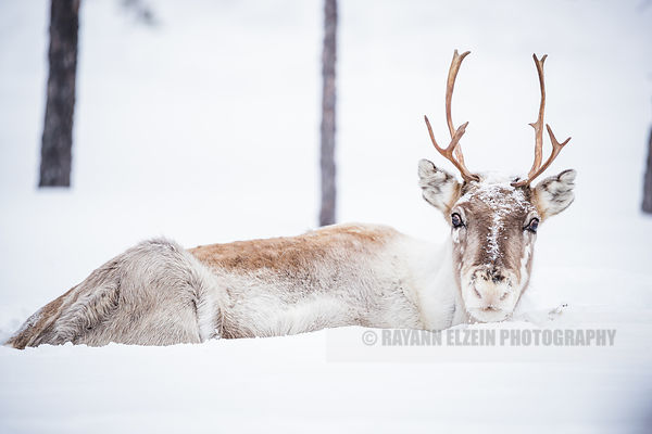Reindeer lying in the snow and starring at the photographer