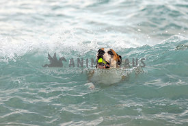 A dog with tennis ball in the ocean