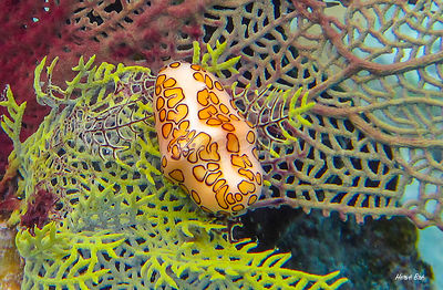 Saint-Barthélemy Flamingo tongue snail