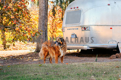 A large mixed breed dog standing next to a vintage airstream trailer in the fall.