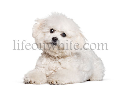 Bichon Frise looking at camera against white background