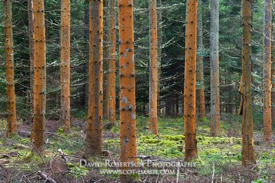 Prints & Stock Image - Red algae, Trentepohlia, on tree trunks in commercial plantation, Darnaway, Moray, Scotland.