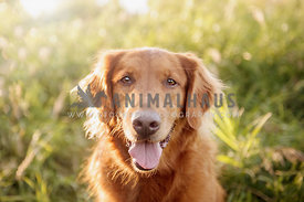 Happy golden retriever basking in the warm summer light