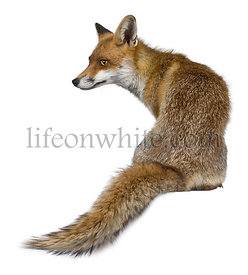 Rear view of Red Fox, 1 year old, sitting in front of white background