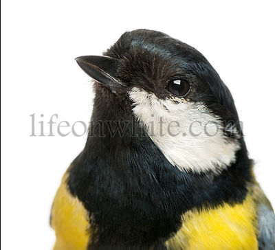 Close-up of a male great tit, Parus major, isolated on white