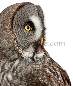 Close up of Great Grey Owl or Lapland Owl, Strix nebulosa, a very large owl, in front of white background