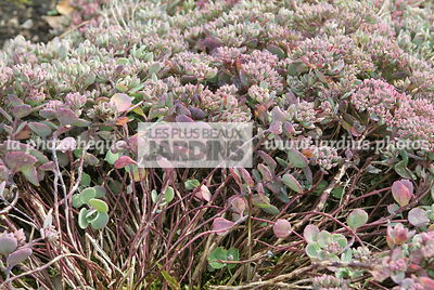 Sedum cauticola 'Lidakense'. Hollande