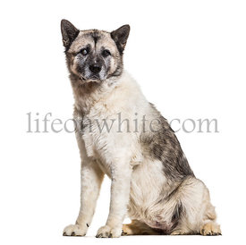 Akita Inu dog, 13 years old, sitting against white background