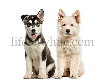 White Swiss Shepherd puppy, Husky malamute puppy, in front of white background