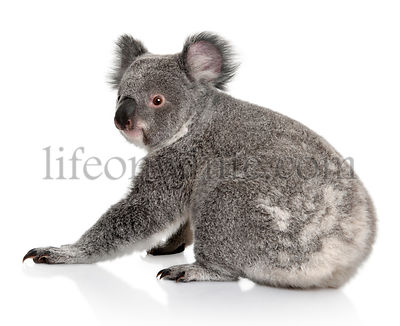 Young koala, Phascolarctos cinereus, 14 months old