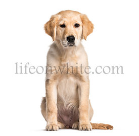 Golden Retriever, 4 months old, sitting in front of white background