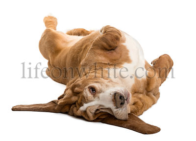 Basset Hound lying on its back, isolated on white