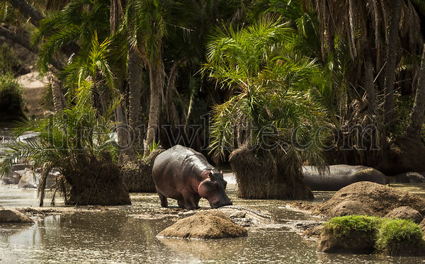Hippo walking in river, Serengeti, Tanzania, Africa