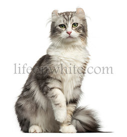 Front view of an American Curl sitting, looking at the camera, isolated on white