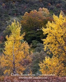Prints & Stock Image - Silver Birch trees in autumn colours, Glen Lyon, Perth and Kinross, Scotland.