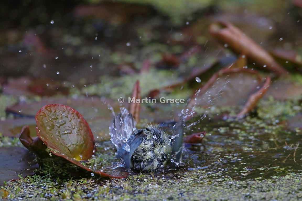 European Blue Tit (Cyanistes caeruleus) bathing very vigorously in the garden pond, Lake District National Park, Cumbria, Eng...