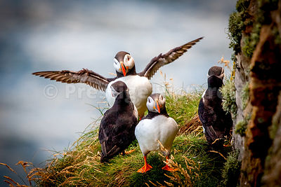 Four puffins on ledge