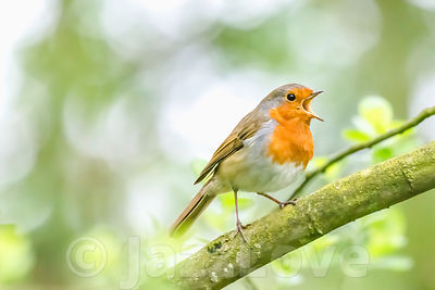 European robin singing on tree branch.