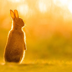 European Rabbit at Sunrise
