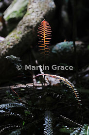 Orange-red fern frond lit by a shaft of sunlight in a dense woodland thicket, Tiritiri Matangi Island, Hauraki Gulf, Auckland...