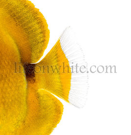 Close-up of a Bluelashed butterflyfish\'s caudal fin, Chaetodon bennetti, isolated on white.
