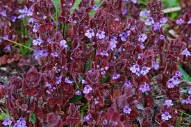 Closeup on purple flowers and leafs of an aggregation of plants of  ground ivy , Glechoma hederacea