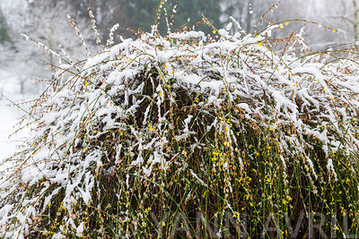 Winter Jasmine (Jasminum nudiflorum) covered in snow in winter, Moselle, France∞Jasmin d'hiver recouvert de neige, France, mo...