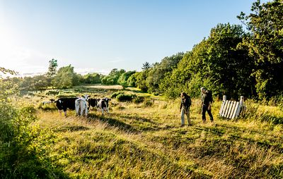 Hikers and cows on Mors, Denmark 8