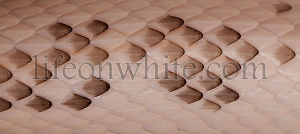 Close-up of Black Rat Snake scales