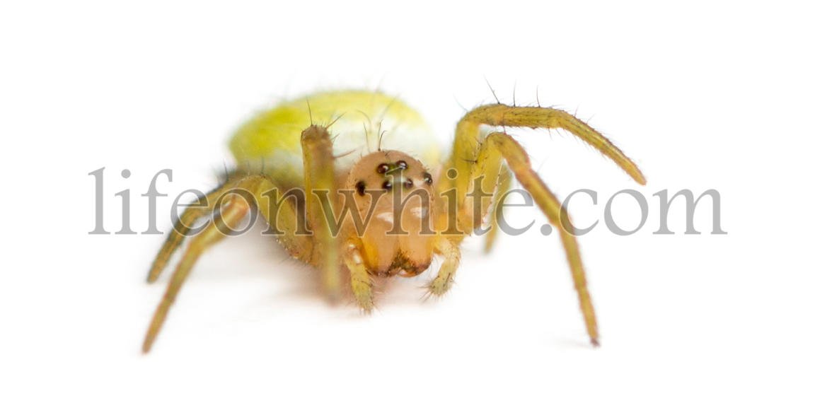Juvenile Orb-weaver spider, Araneidae, isolated on white