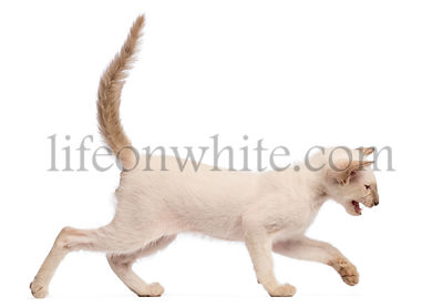 Oriental Shorthair kitten, 9 weeks old, running and meowing against white background