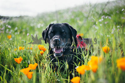 Black Lab smiling in amongst wildflowers in a field