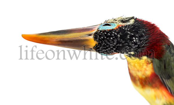 Close-up of a Curl-crested aracari flipping the head, isolated on white