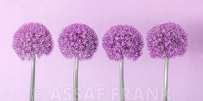 Allium flowers in a row