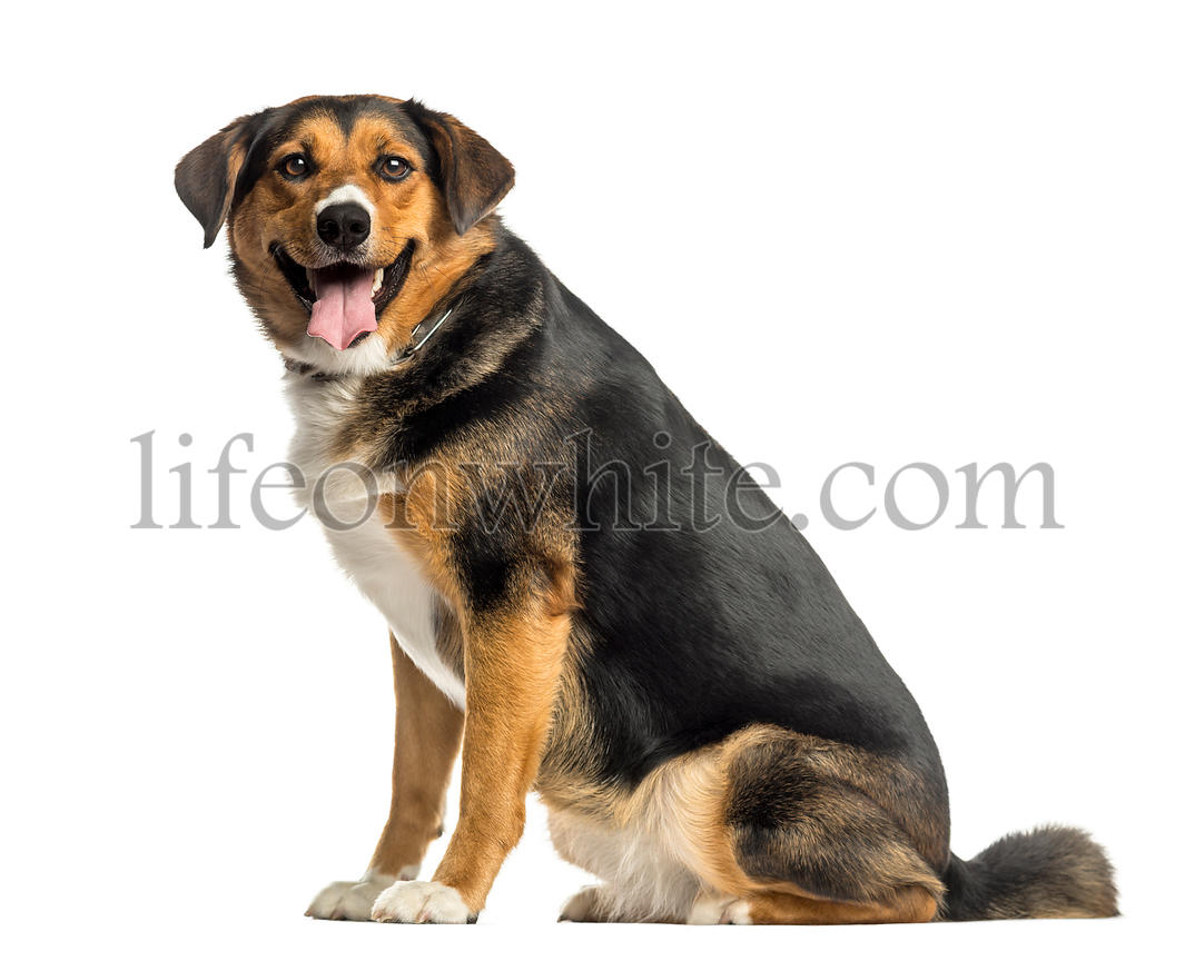 Side view of an Appenzeller mountain dog sitting, panting, isolated on white