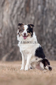 Happy Australian Shepherd Sitting