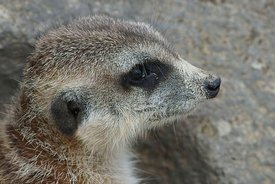 Closeup on a cute mongoose, the meerkat or Suricata suricatta in Parc paradisio , Belgium
