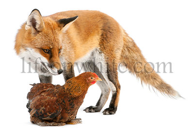 Red Fox, Vulpes vulpes, 4 years old, playing with a hen in front of white background