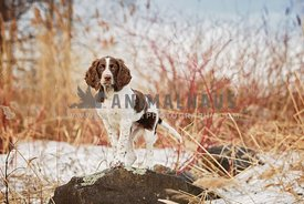 French spaniel puppy standing on a rock