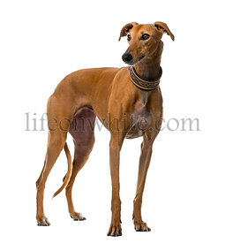 Spanish galgo (4 years old) in front of a white background