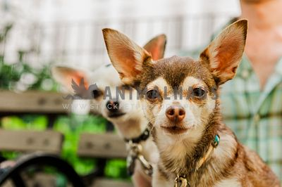 A close up of two chihuahuas sitting on their owner's lap