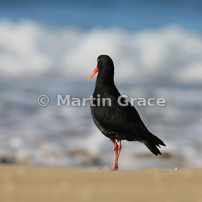 Dark morph Variable Oystercatcher (Black Oystercatcher) (Haematopus unicolor) appearing to be watching the waves, Otama Beach...